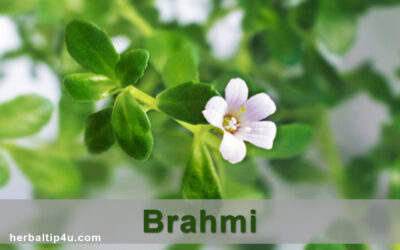 Brahmi: Health Benefits, Uses, Dasage and Side Effects
